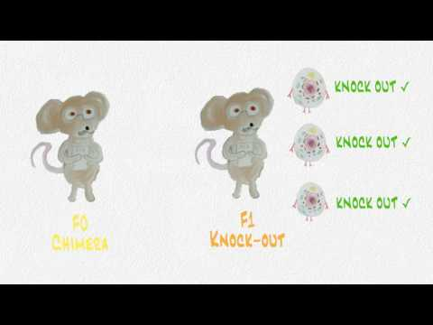 Making Transgenic Knock-Out Animals: A piece of Music
