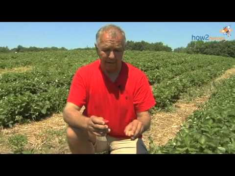 Tips on Strawberry Picking & Freezing