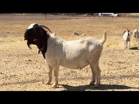 Raising Meat Goats / Free Ranged Boer