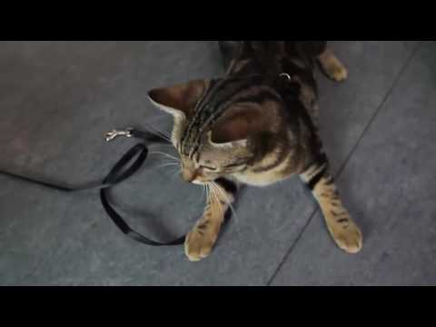 How to make a cat get used to a leash?