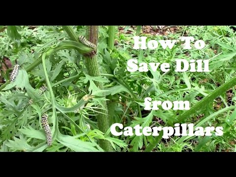 How to Get Rid of Caterpillars on Dill Without Killing Them.