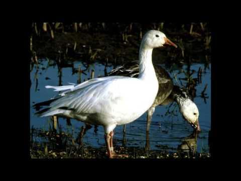Feeding Snow Geese MP3