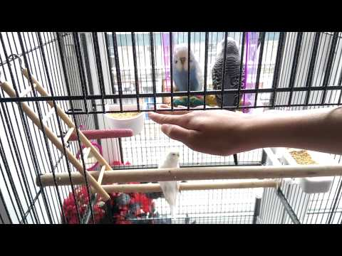 How to teach your budgie to perch onto your finger