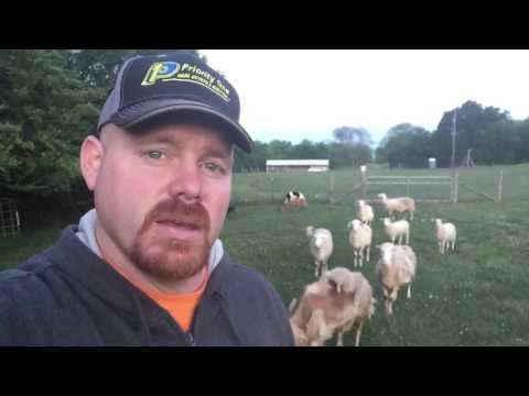 Shedding vs Shearing. #lessonsfromsheep #EnjoyTheShepherd