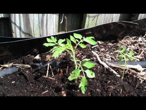 Self-Seeded Tomatoes: Transplanting to Garden