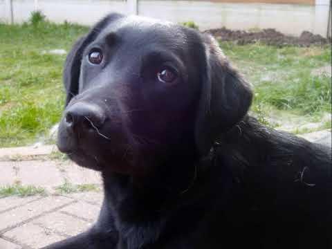 Guide Dog Puppy Danni