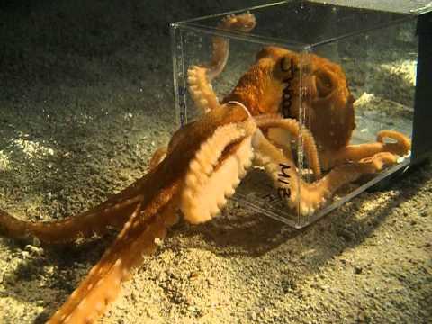 Octopus escaping through a 1 inch diameter hole