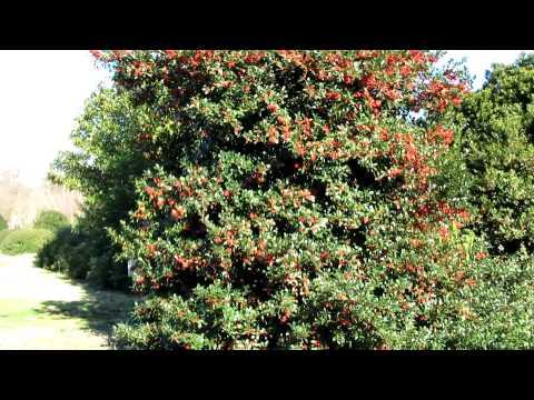 HOLLY TREE TEEMING WITH BERRIES