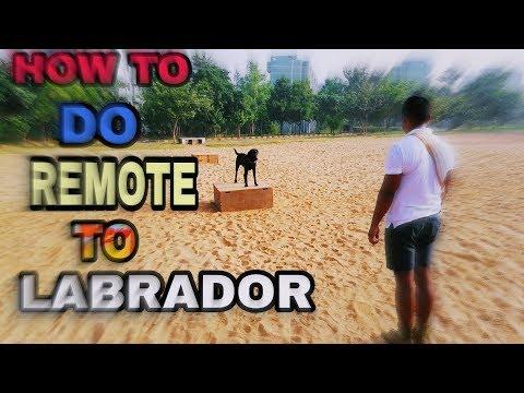 Labrador dog training .... How to do remote to LABRADOR by DOGGIE ZONE