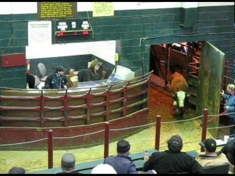 St Jacobs cattle auction