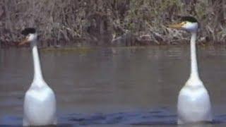 Vida Selvagem 35 - Os Bailarinos Aquáticos