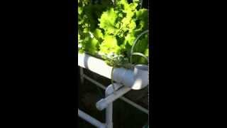 Growing Lettuce Tomatoes In Two Interconnected Hydroponic Systems Pvc