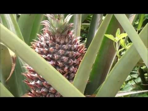 Pineapple Flowers: All The Flowers To Make Just One Pineapple.