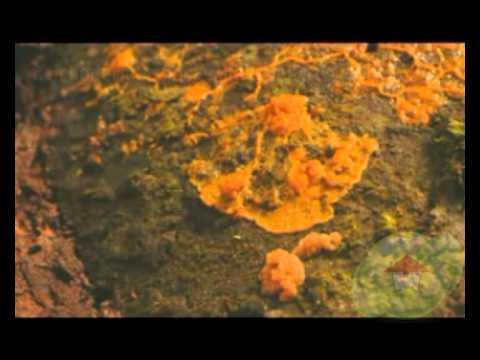 Trichoderma species