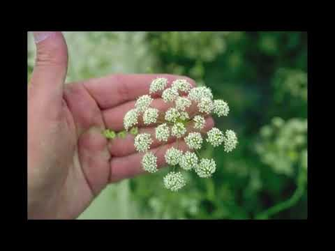 16 Unassuming but Lethal Poison Plants - Recognize Herbal Plants