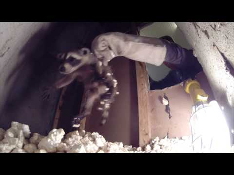 How to Humanely Remove a Family of Raccoons