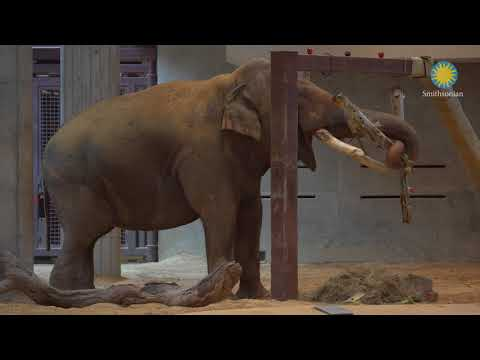 Male Asian Elephant Spike Makes His Debut