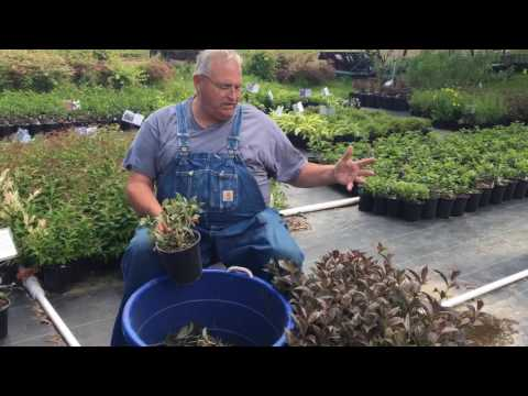 How to prune flowering shrubs and other plants growing in nursery containers.