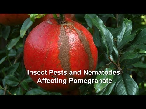 Insect Pests and Nematodes Affecting Pomegranate