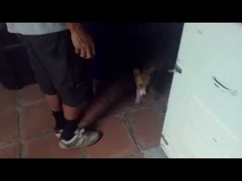 This is how my Corgi reacts to someone moving the trash bin (he goes INSANE)