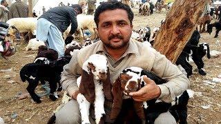 02 | Goat Kids | Bakra Mandi Lalukhet Karachi | Feb 2019 - PakVim