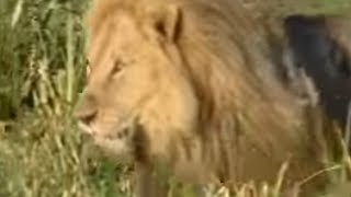 King Lions Take Over a New Pride | Wildlife | BBC Studios