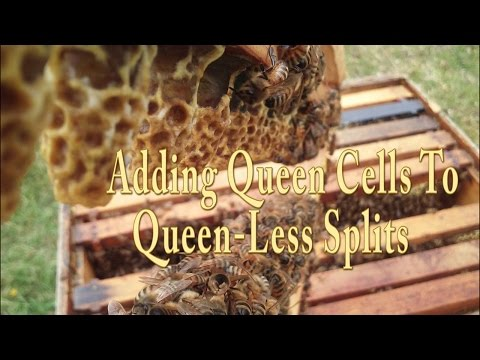 Splitting A Bee Hive And Add Queen Cells