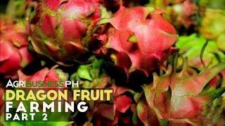 How To Establish Dragon Fruit Farm : Dragon Fruit Farming Part 2 #Agriculture