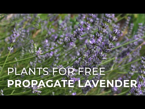 Plants for Free: How to Propagate Lavender from cuttings