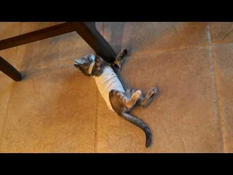 Kitten unsure about post-op shirt
