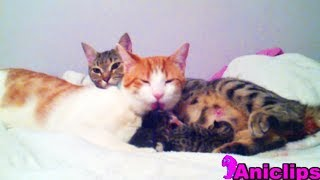 Cat Daddy Supports Mama Cat Takes Care of Her New Born Kittens
