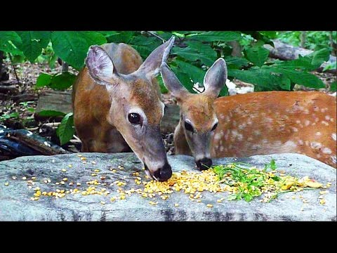 Spotted fawns with mom in the paw paw patch