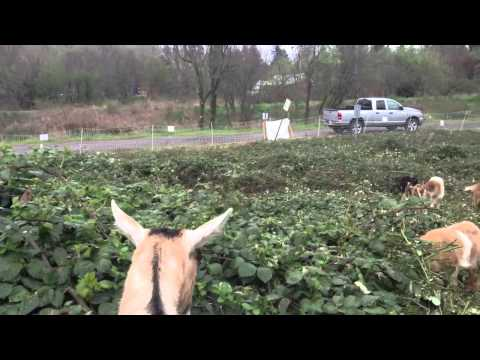 Goats hired to eat blackberry bushes