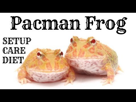 PACMAN FROG || CARE, DIET AND TANK SETUP