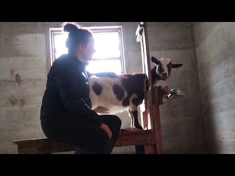 Training Our Goats To The Milk Stand!
