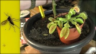 How To Get Rid Of Fungus Gnats 4 Top Tips
