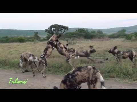 Wild Dogs Play Fighting