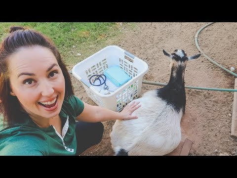 She's ready to POP!  (getting ready for a goat birth!)