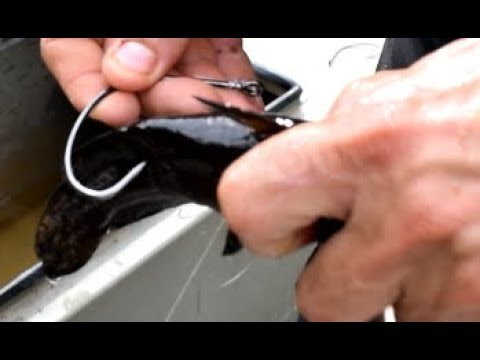 How to rig up bullheads for Flathead catfish bait.