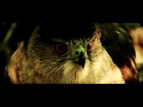 Young Cooper's Hawk Close Up HD