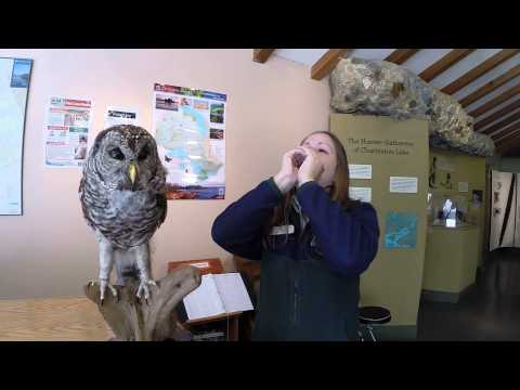 Can you hoot like a barred owl?