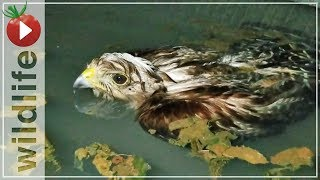Hawk Rescued From Drowning, His Reaction Was...