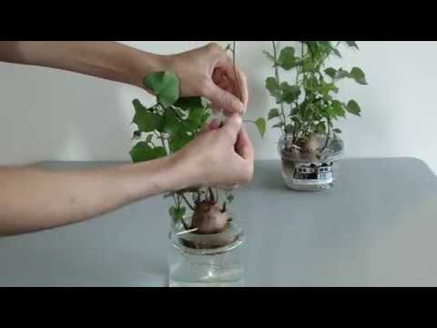 Separating Sweet Potato Vines from Potato to Replant in Water. July 20, 2017
