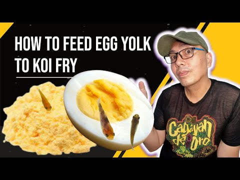 feed koi fry with hard boiled egg yolk you need to know
