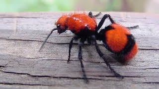 Download Worst Insect Stings in the World Video