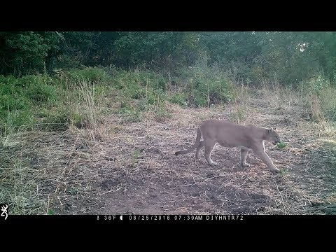 Mountain Lion Passing Through Caught on Trail Camera