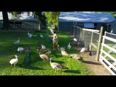 Female Peacock keeper feeding Peacocks whilst they open their feathers in tx, usa