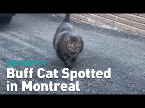 Buff Cat Spotted in Montreal
