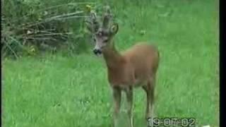 Barking Roe Deer