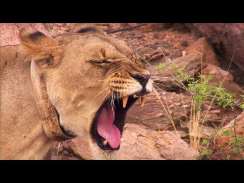 Young lioness saved from angry villagers and given a new life | BBC Earth